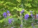 Eisenhut im Garten